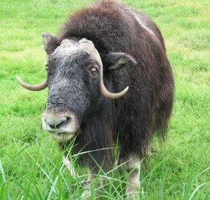 Овцебык осваивает Таймыр