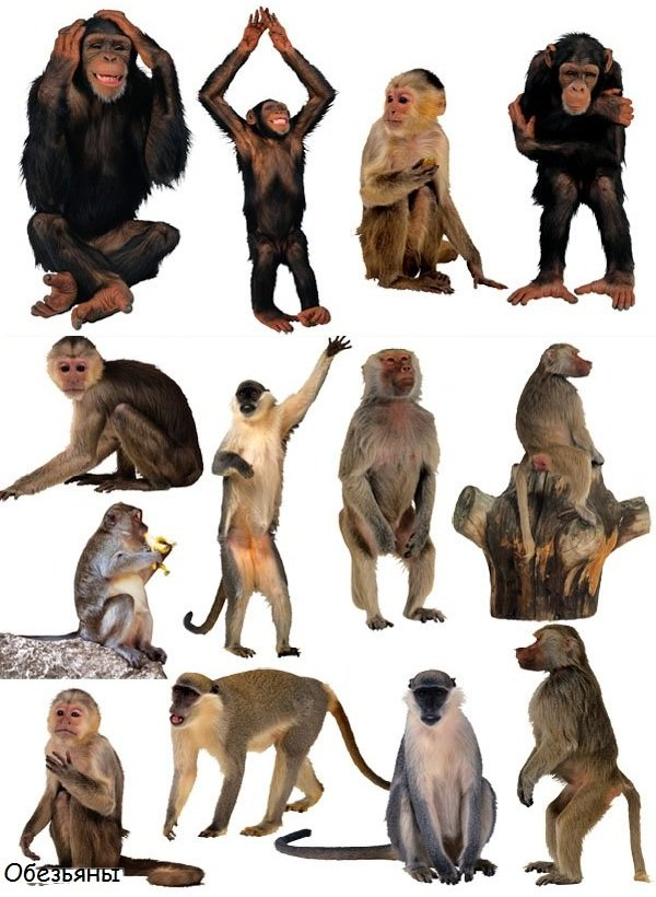 Породы обезьян