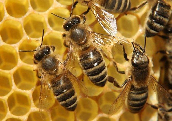 Самые трудолюбивые животные в мире - медоносные пчелы