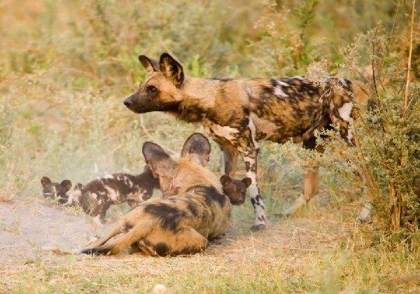 Самые трудолюбивые животные в мире - африканские дикие собаки