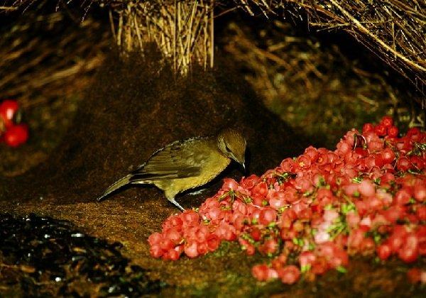 Самые трудолюбивые животные в мире - птица шалашник