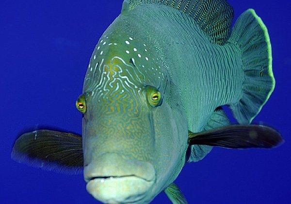 Самые трудолюбивые животные в мире - рыба губан