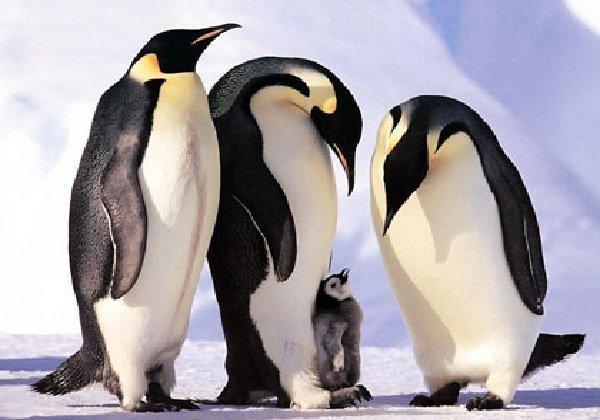 Самые трудолюбивые животные в мире - императорские пингвины