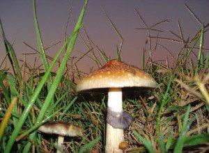 Галюциногенные грибы Psilocybe Cubensis