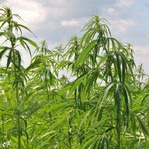 Конопля безнаркотическая - текстильное и лекарственное растение