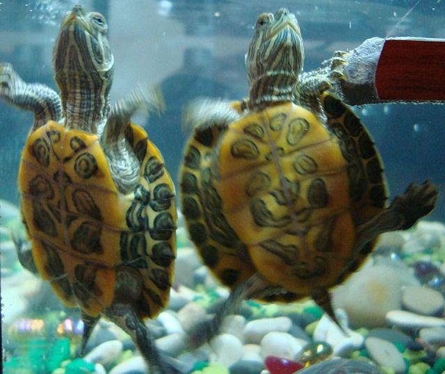 Водная черепаха в домашних условиях.
