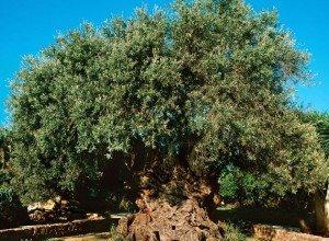 Баобаб африканский - гигант долгожитель