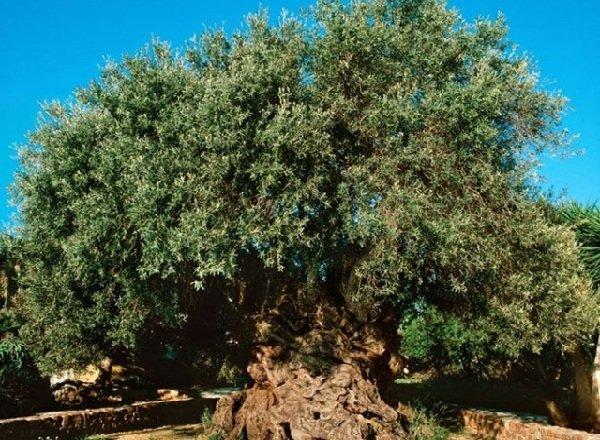 Баобаб африканский — гигант долгожитель