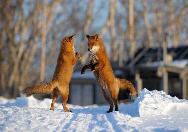 Лисица — рыжая плутовка русских лесов