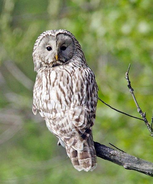 Неясыть длиннохвостая – описание птицы, фото и видео