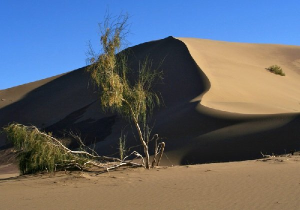 Саксаул – описание дерева и фото