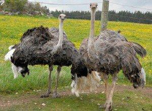 Страусы - великаны птичьего царства
