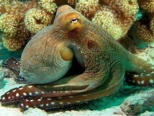 Какие глаза у головоногих моллюсков