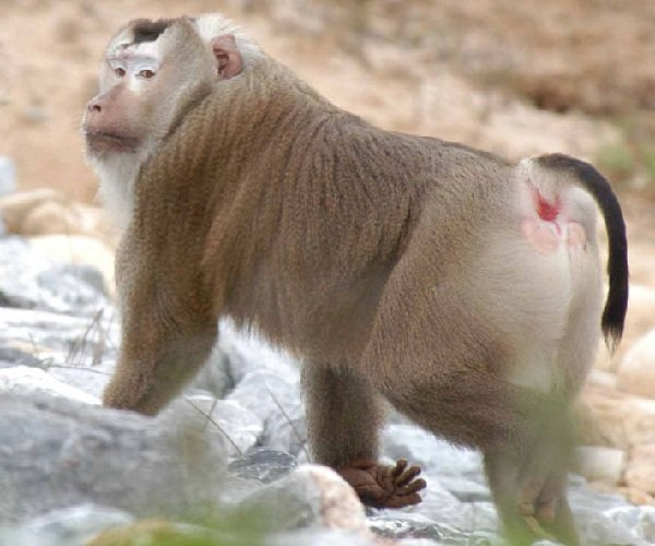 Лапундер свинохвостый — крупная макака