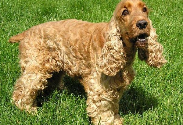 Собаки средних пород Английский кокер-спаниель.