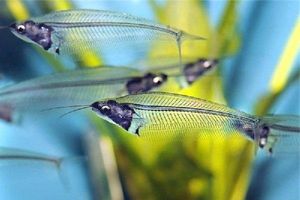 Сомы призраки — стеклянные рыбы