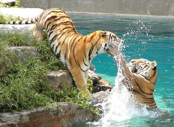 Тигры в опасности — спасение хищников