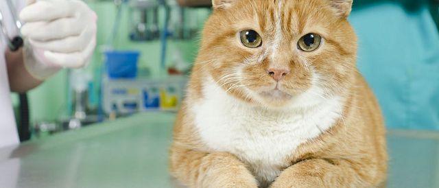 Кастрация и стерилизация котов и кошек.