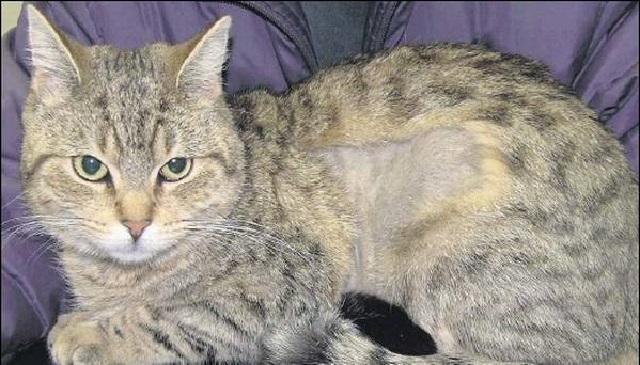 Выпадение шерсти у кошек и котов.