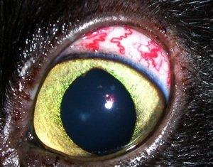 Глаукома у животных