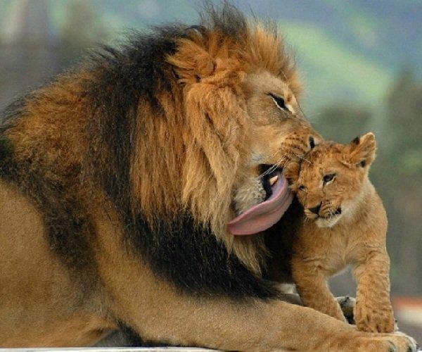 Лев – нежный отец и суровый воин