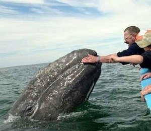 Серый кит — большой и подвижный!