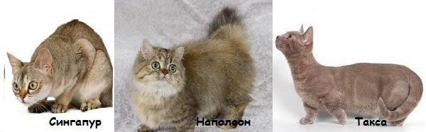 Маленькие породы кошек — миниатюрные