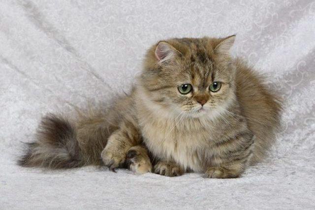 Маленькие породы кошек – миниатюрные кошки Наполеон фото.