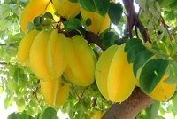 Карамбола фрукт — выращивание и польза