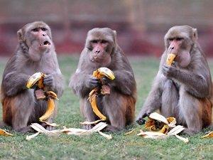 Способности обезьян