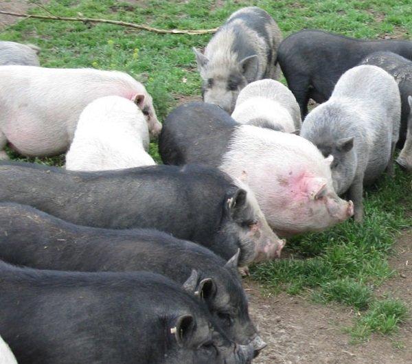 Вьетнамские свиньи — уход и разведение