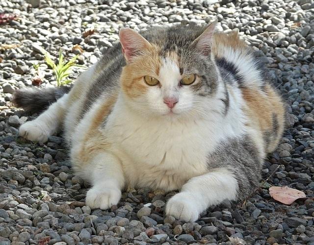 Ожирение у кошек и лишний вес – что делать?