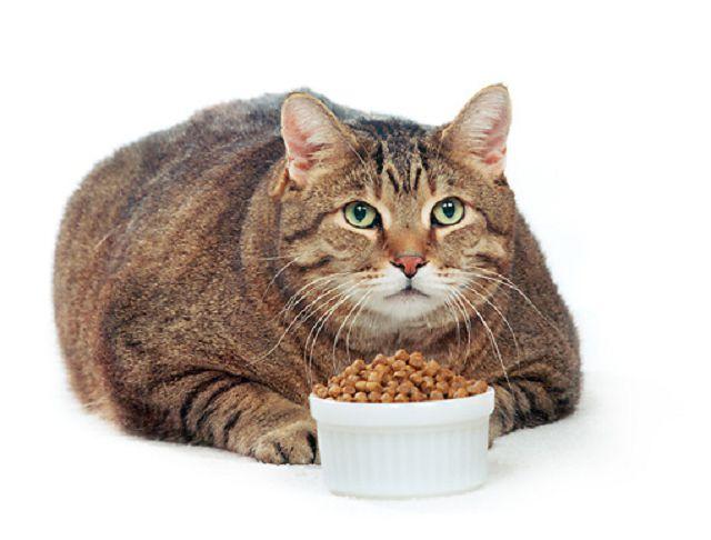 Как помочь коту справиться с ожирением?