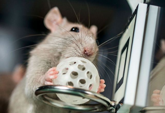 Дрессировка крысы - полезные советы.