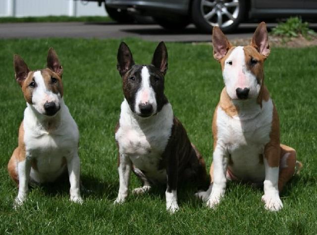 Порода бультерьер – воспитание и уход за собакой.