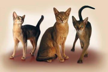 Абиссинские кошки — характер и особенности