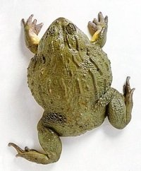 Африканские роющие лягушки Pyxicephalus adspersus