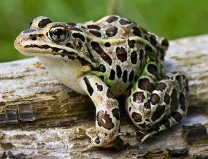 Леопардовые лягушки Rana pipiens