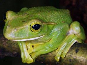 Семейство Веслоногие лягушки Rhacophoridae