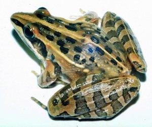 Светлополосые лягушки Ptychadena porosissima