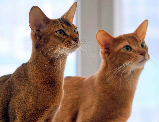 Абиссинские кошки фото.