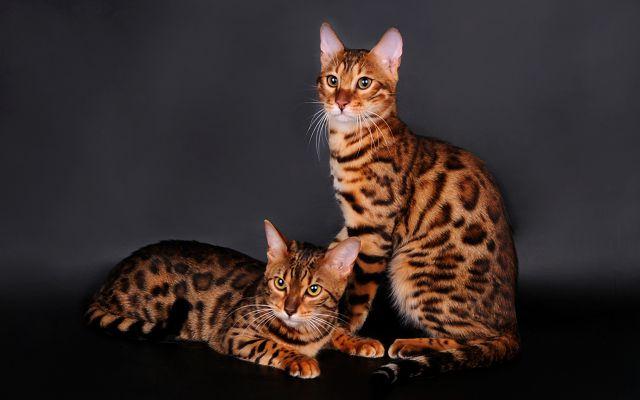 Бенгальские кошки – характер и особенности породы.