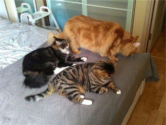 Таблетки или уколы для остановки течки у кошек. Что лучше давать?