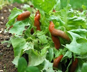 Как избавиться от улиток в саду