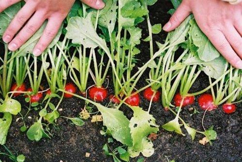 Как выращивать редиску на своей грядке
