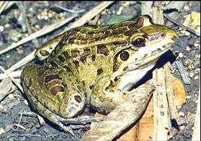 Пятипалый свистун Leptodactylus pentadactylus