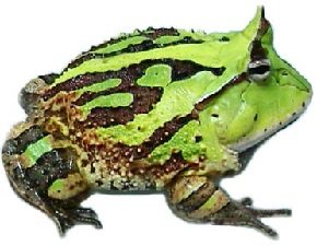 Жабы - Рогатка Ceratophrys cornuta