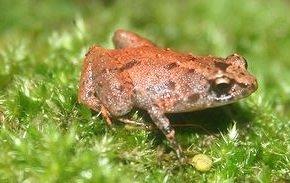 Сейшельская лягушка (чесночница) Sooglossus sechellensis