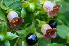 Белладонна - магическое растение