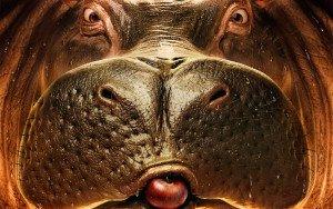 Бегемоты — интересные факты из жизни бегемотов